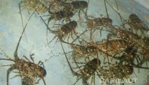 Officers Thwart the Smuggling of Thousands of Lobster Seeds at Soetta Airport - POLRI PRIVACY DIVISION